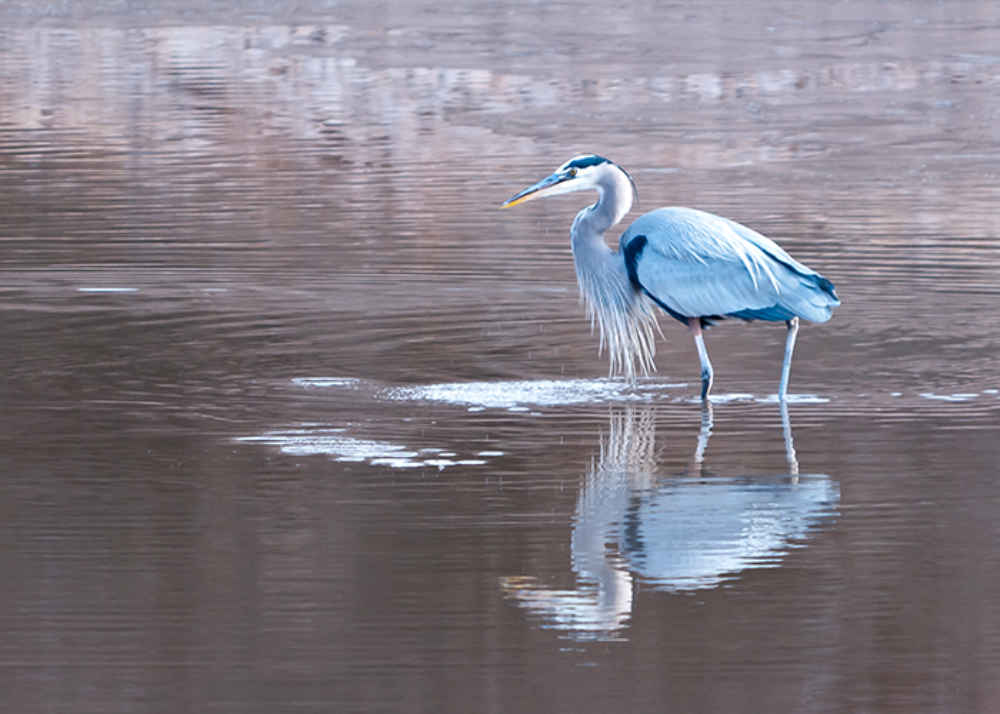 blue heron in Sierra County New Mexico